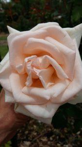 rose garden anthonij rupert wyne sonia cabano blog eatdrinkcapetown