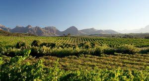 vineyards druk my niet sonia cabano blog eatdrinkcapetown