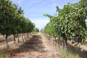 druk my niet vineyards