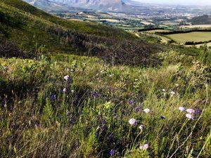 fynbos slopes mountain delheim sonia cabano blog eatdrinkcapetown