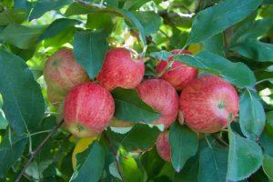 organic apples terra madre sonia cabano blog eatdrinkcapetown