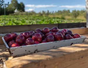 plums terra madre sonia cabano blog eatdrinkcapetown