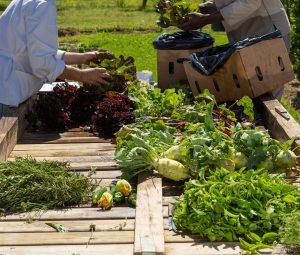 vegetable harvest terra madre sonia cabano blog eatdrinkcapetown