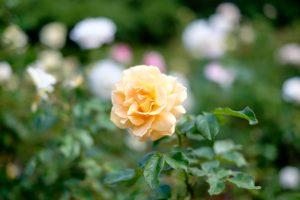 liz mcgrath rose open gardens sonia caban
