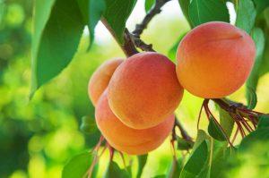 apricots de krans sonia cabano blog eatdrinkcapetown