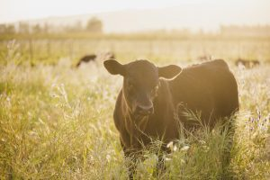 cows pasture avondale sonia cabano blog eatdrinkcapetown
