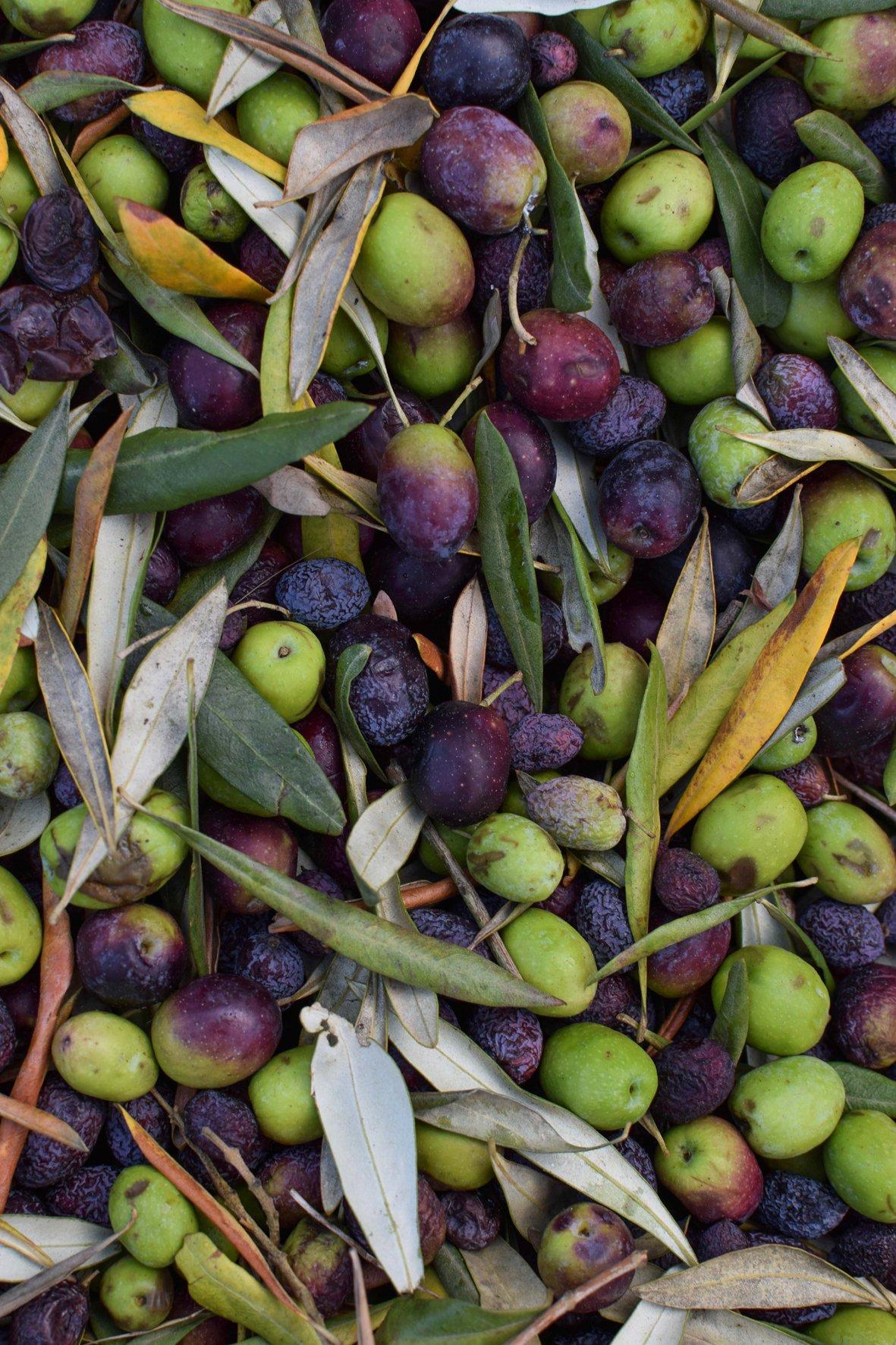 TOKARA Olive harvest sonia cabano blog eatdrinkcapetown