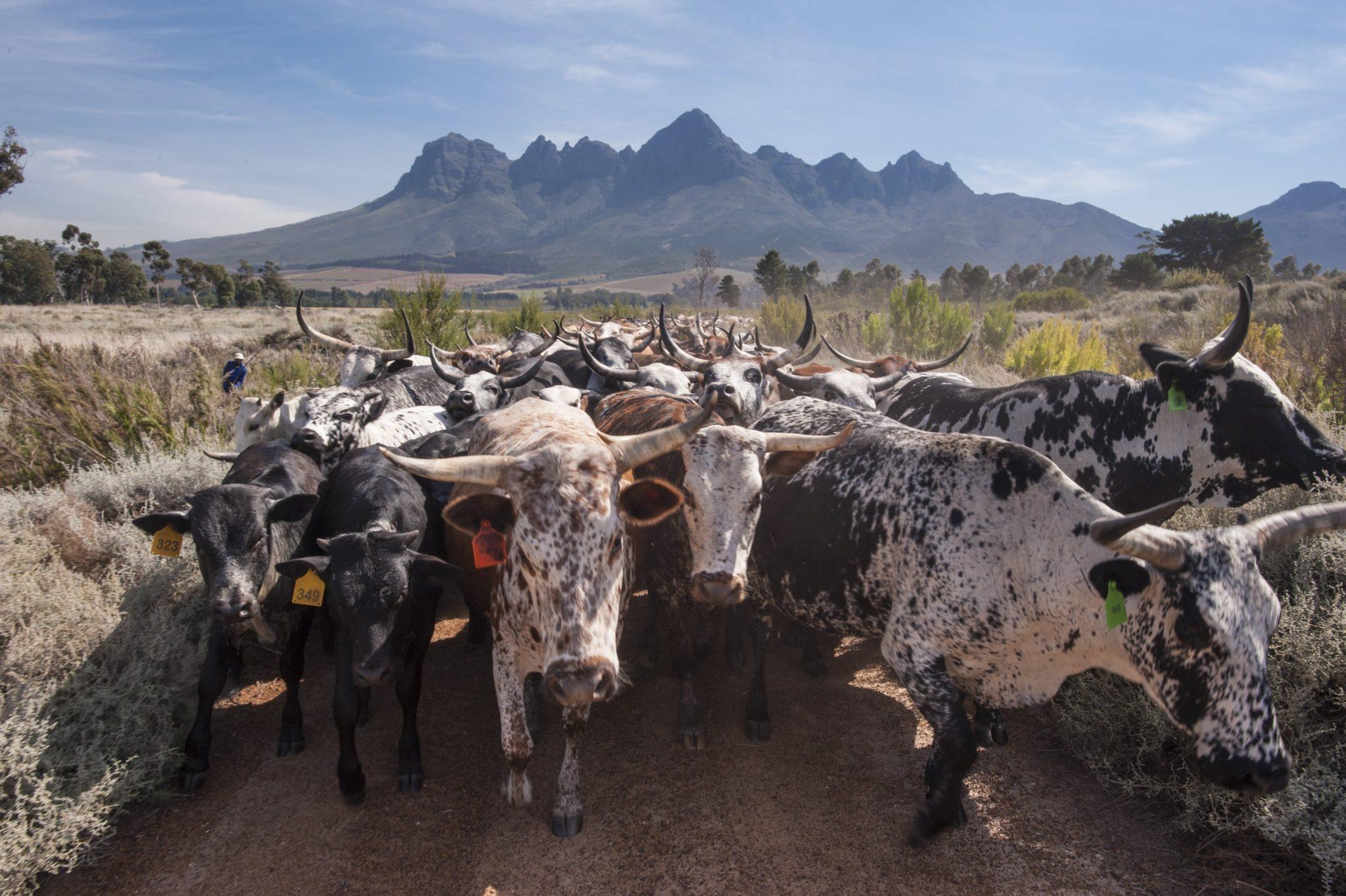 Nguni herd Vergelen Sonia Cabano blog eatdrinkcapetown