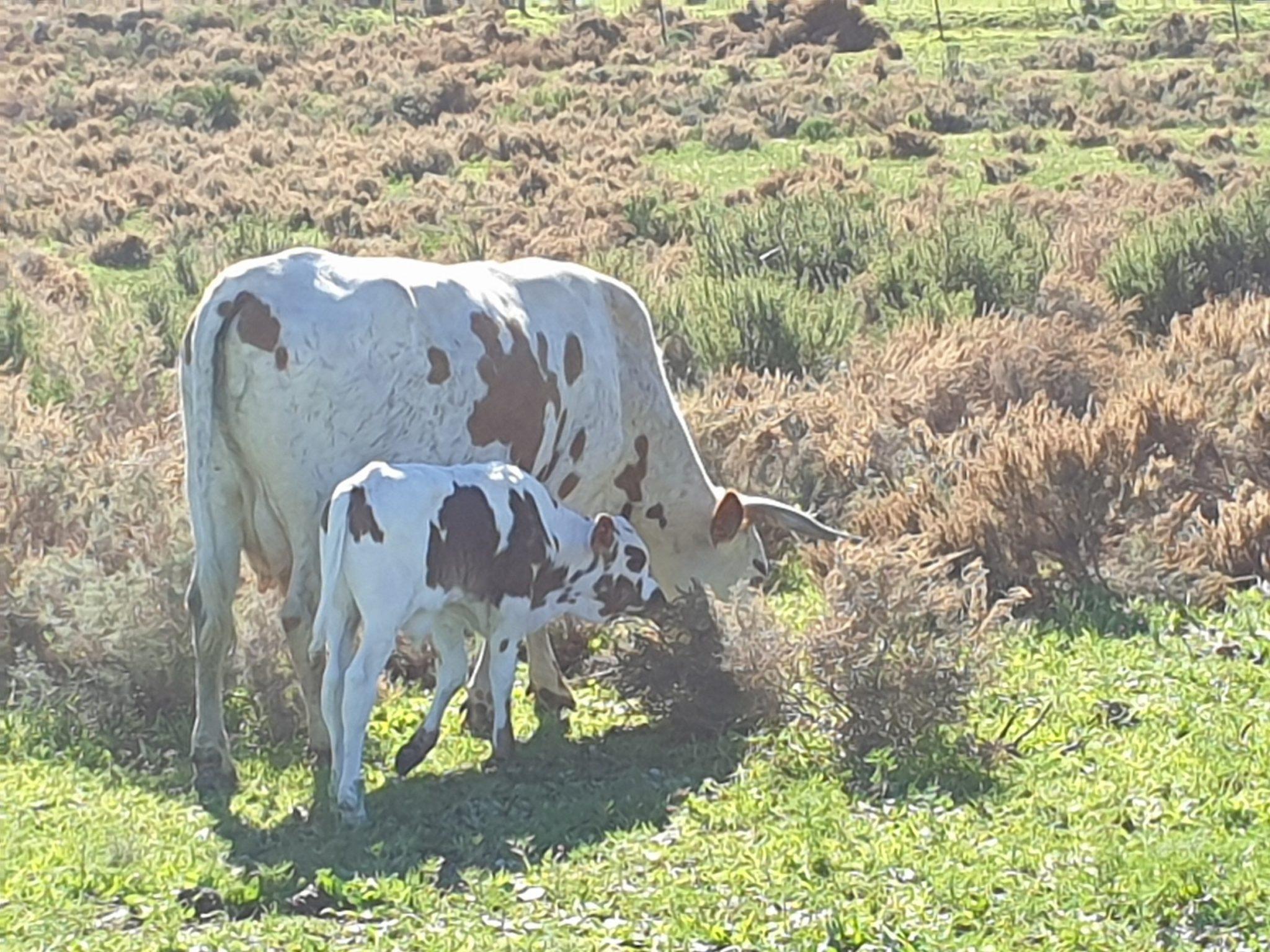 Nguni cow and calf, Vergelegen Estate Sonia Cabano blog eatdrinkcapetown