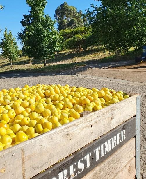 Plum harvest, Avondale Sonia Cabano blog eatdrinkcapetown