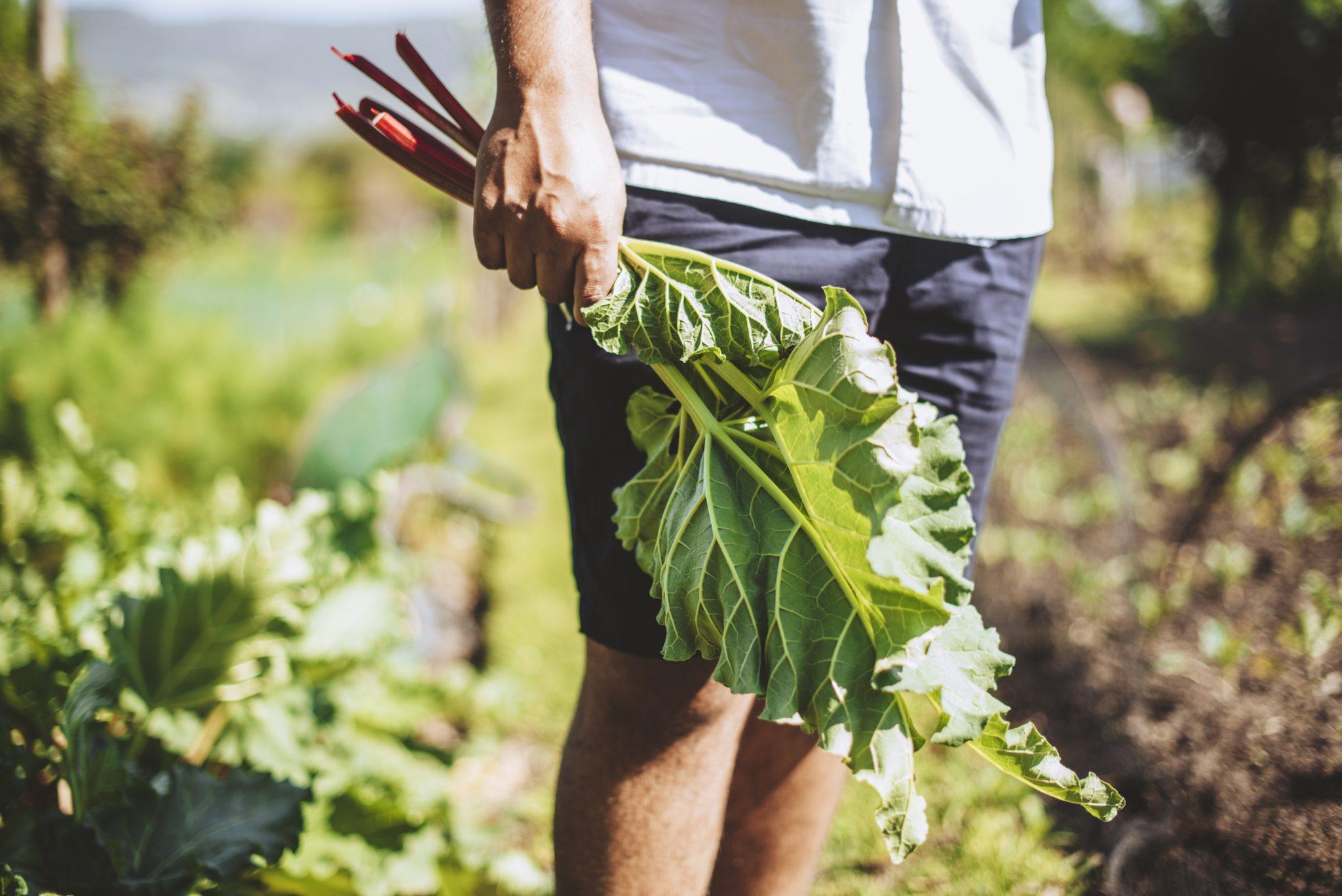 Freshly harvested Avondale's organic garden Sonia Cabano blog eatdrinkcapetown